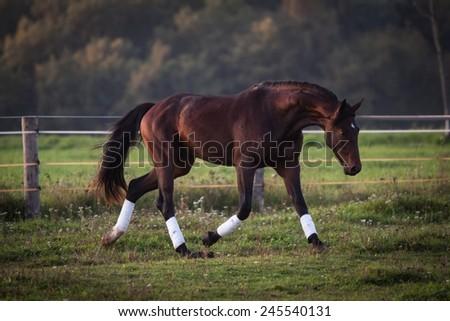 nice horse stallion running outside - stock photo