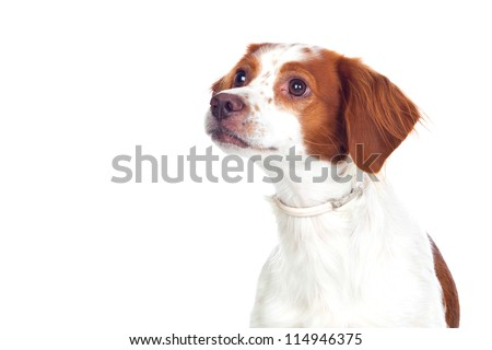 Nice hunting dog isolated - stock photo