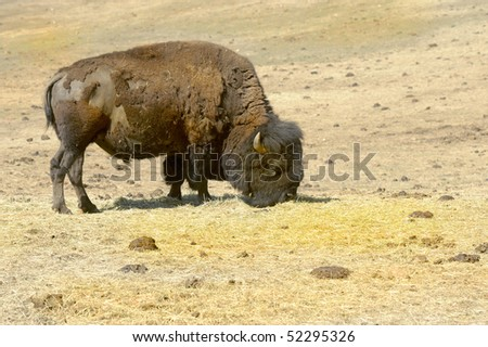 Nice Image of a Bison In Montana
