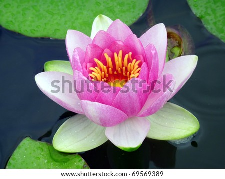 Nice image of a pink liiy flower in a pond. - stock photo