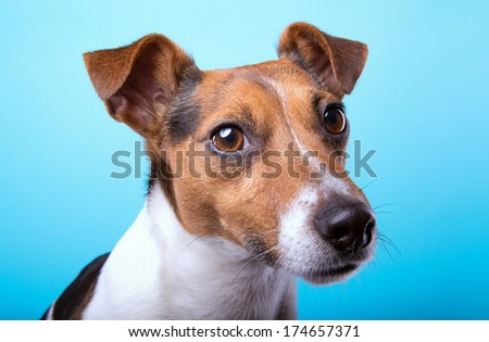 Nice Jack Russel terrier dog is isolated on a blue background. Animal portrait. Playful dog is on a colorful background. Collection of funny animals - stock photo