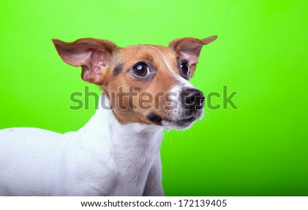 Nice Jack Russel terrier dog is isolated on a green background. Animal portrait. Playful dog is on a colorful background. Collection of funny animals - stock photo