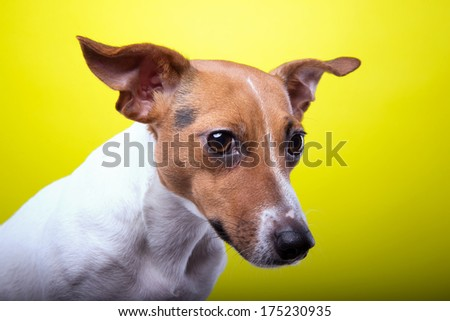 Nice Jack Russel terrier dog is isolated on a yellow background. Animal portrait. Playful dog is on a colorful background. Collection of funny animals