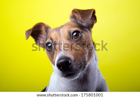 Nice Jack Russel terrier dog is isolated on a yellow background. Animal portrait. Playful dog is on a colorful background. Collection of funny animals - stock photo