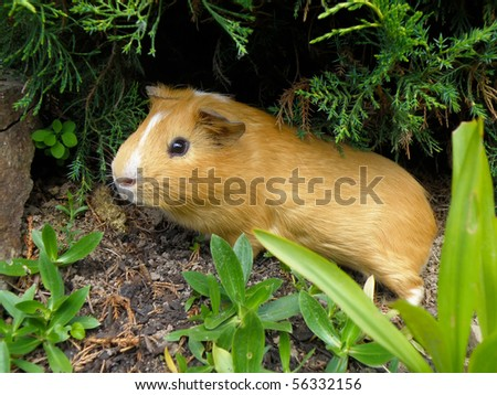 nice little guinea pig in wild nature - stock photo