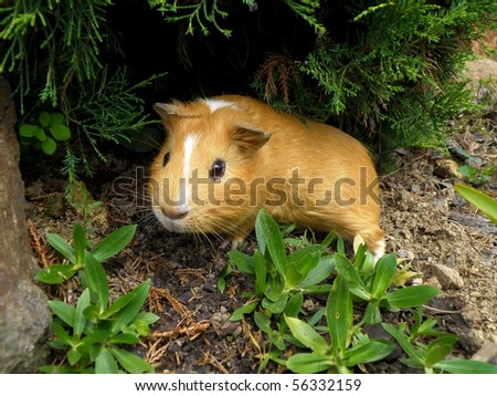 nice little guinea pig in wild nature with grass. Little cute hamster. - stock photo