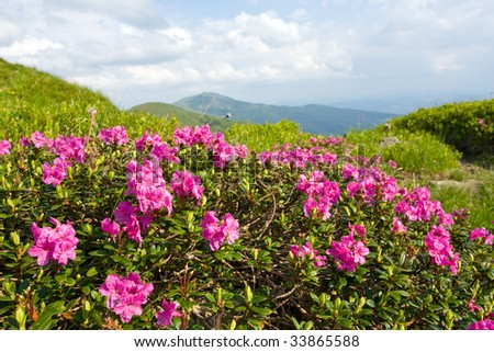 nice mountains flowers of rhododendron