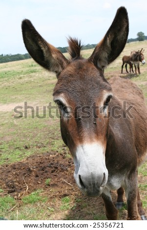 nice old donkey - portrait