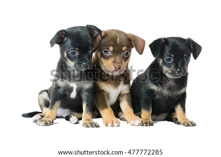 Nice one brown and two black Chihuahua puppy, isolated on a white background image