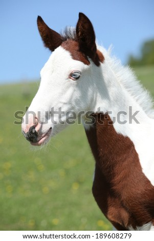 Nice paint horse foal looking at you on pasturage