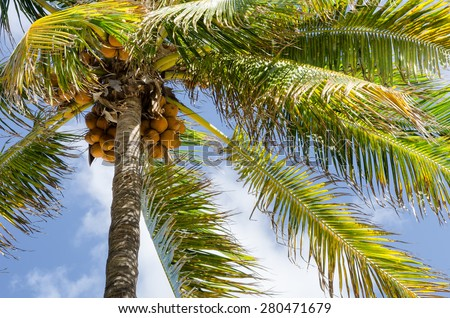 Nice palm tree with coconuts in the blue sunny cloudy sky - stock photo