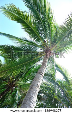 nice palm trees with fruits in the blue sunny sky