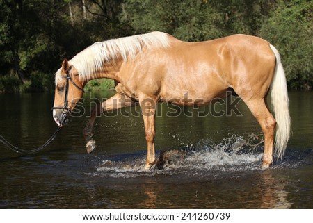 Nice palomino warmblood playing in the water in autumn - stock photo