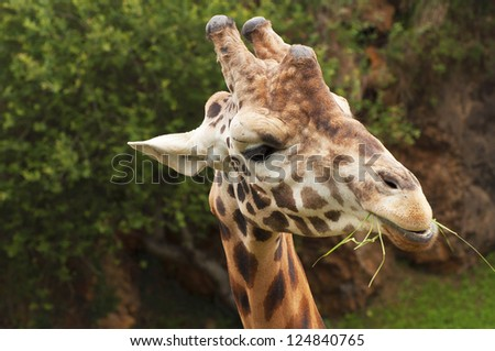 nice portrait of a giraffe eating grass and looking intently