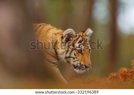 nice portrait  tiger - stock photo