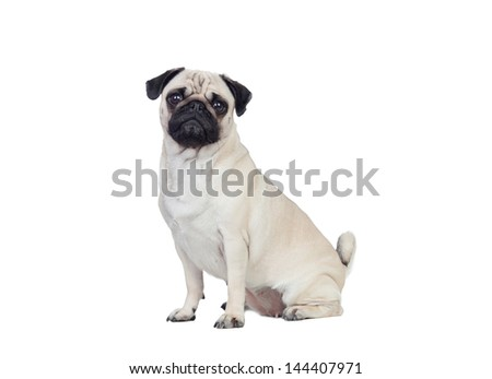 Nice pug dog with white hair isolated - stock photo