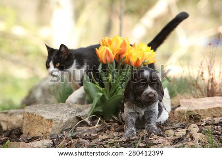 Nice puppy of German Quail Dog with cat in the garden - stock photo