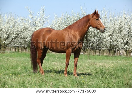Nice quarter horse standing in front of flowering plum trees - stock photo