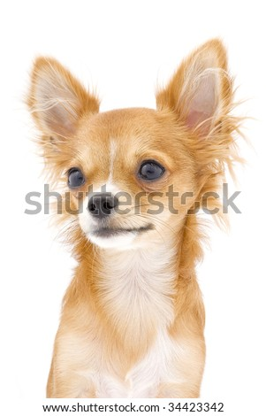 nice red chihuahua dog portrait isolated on white background