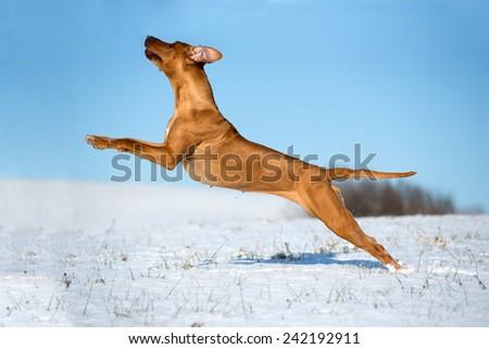 Nice rhodesian ridgeback running on snowy meadow  - stock photo
