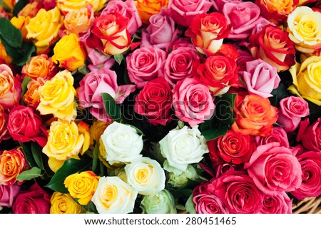 nice roses - stock photo