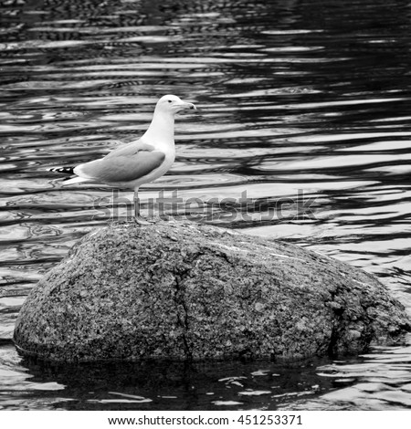 Nice seagull stands on a big stone in a lake. Beautiful seascape. Amazing sea birds. The gull and the wonderful mirrored water surface. European herring gull. Wildlife. Black and white photography - stock photo