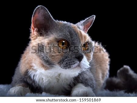 Nice Selkirk Rex cat is looking - stock photo