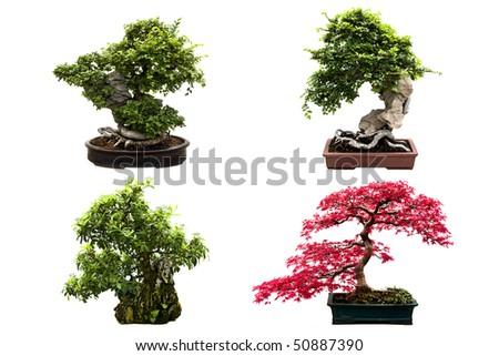 Nice set of four bonsai trees isolated on a white background. - stock photo
