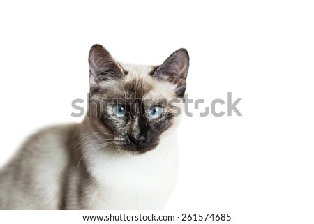 Nice siamese cat portrait isolated on white background - stock photo