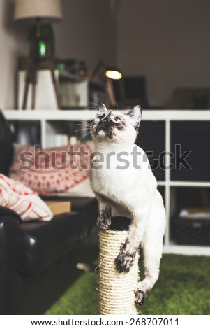 Nice siamese cat portrait playing. - stock photo