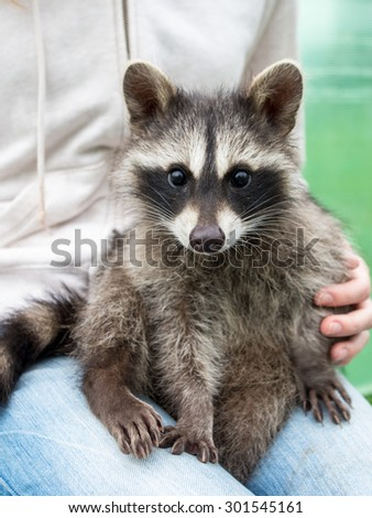 Nice small raccoon (Procyon lotor) sitting at women's knees - stock photo