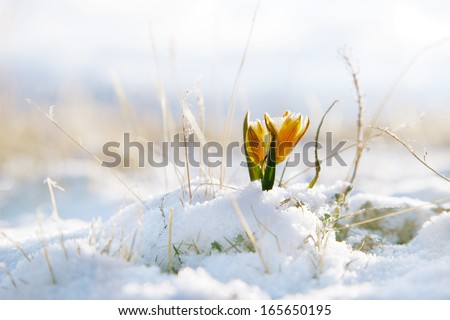 nice snowdrop in high mountain valley with snow, super macro - stock photo