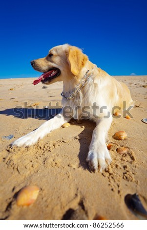 Nice specimen of dog of the race Golden Retriever - stock photo