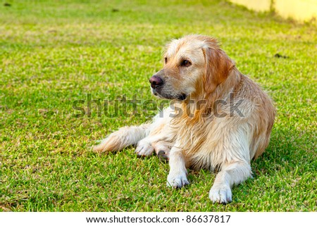 Nice specimen of dog of the race Golden Retriever