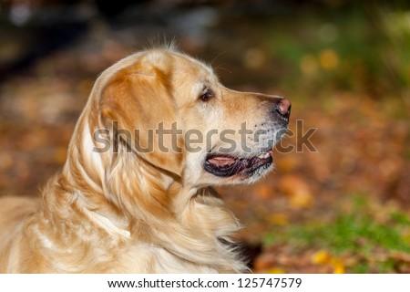 Nice specimen of dog of the race Golden Retriever next to the river Majaceite on El Bosque, Cadiz - stock photo
