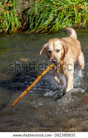 Nice specimen of dog of the race Golden Retriever playing on the river Majaceite on El Bosque, Cadiz - stock photo