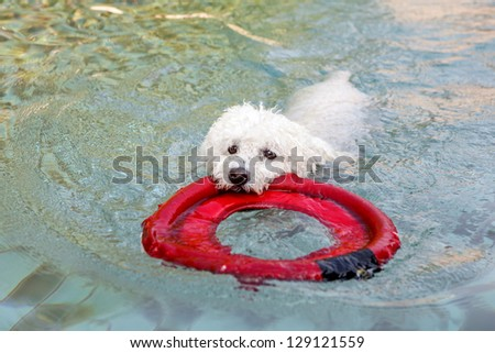 Nice specimen of dog of the race Poodle swimming on a swimming pool - stock photo