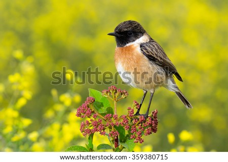 Nice specimen of male Stonechat with flowered background - stock photo