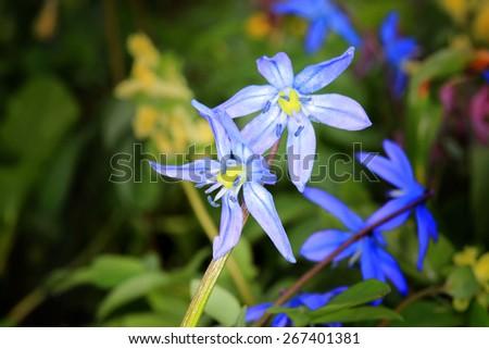 Nice spring flowers - Scilla Bifolia - stock photo
