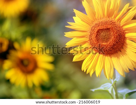 nice sunflower on field - close-up photo - stock photo