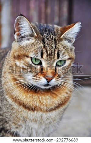 nice tabby cat with turquoise eyes - stock photo