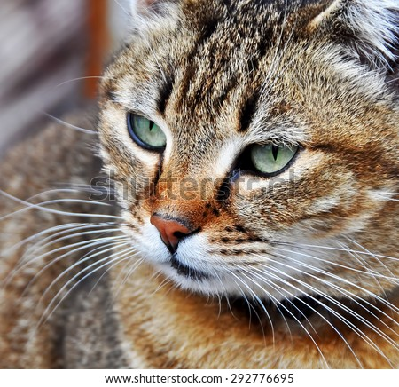 nice tabby cat with turquoise eyes