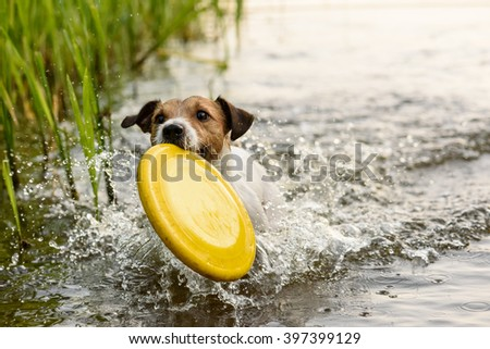 Nice terrier dog playing with yellow toy in water - stock photo