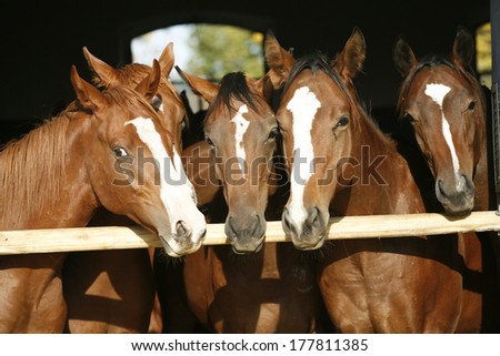 Nice thoroughbred foals in the stable - stock photo