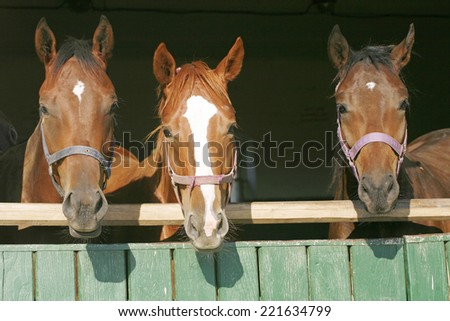 Nice thoroughbred horses in the stable door