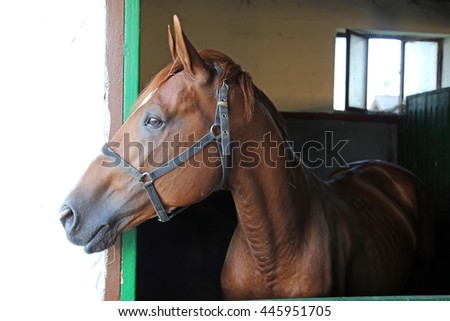 Nice thoroughbred  young chestnut racehorse in the stable door. Purebred chestnut racing horse looking over the barn door - stock photo