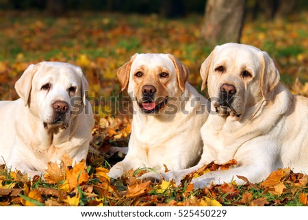 nice three cute yellow labradors in the park in autumn close up