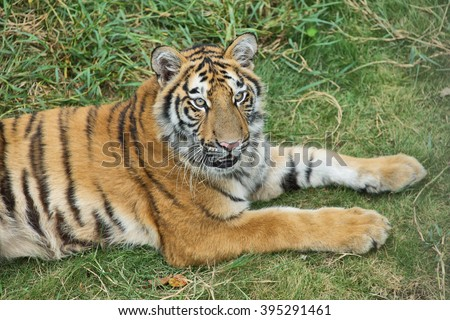 Nice tiger in a park of Guilin, China - stock photo