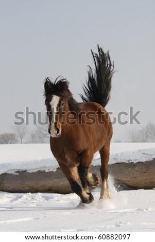 Nice welsh pony running - stock photo