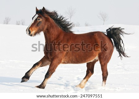 Nice welsh pony running through snowy meadow